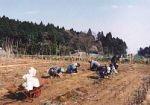 山武市さくらの会 海まで続く花と桜の遊歩道づくり01